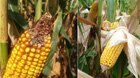 Hybrid without Agrisure Viptera vs. Hybrid with Agrisure Viptera 3111 Trait Stack