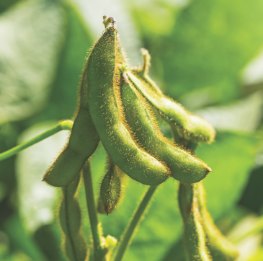 soybean on vine.