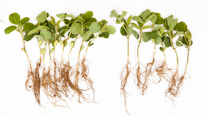 Clariva Complete Beans vs. Untreated
