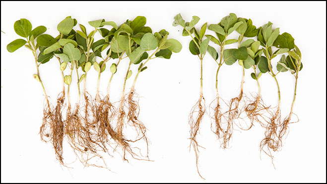 CEB: CCB vs Untreated Roots