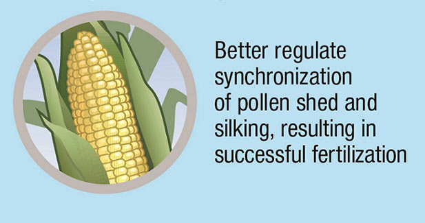 How Artesian hybrids help the corn plant manage wa