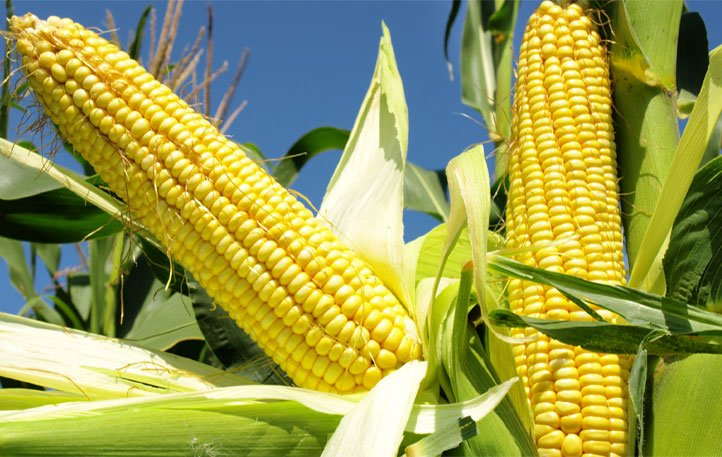 Grain Marketing and Biosafety