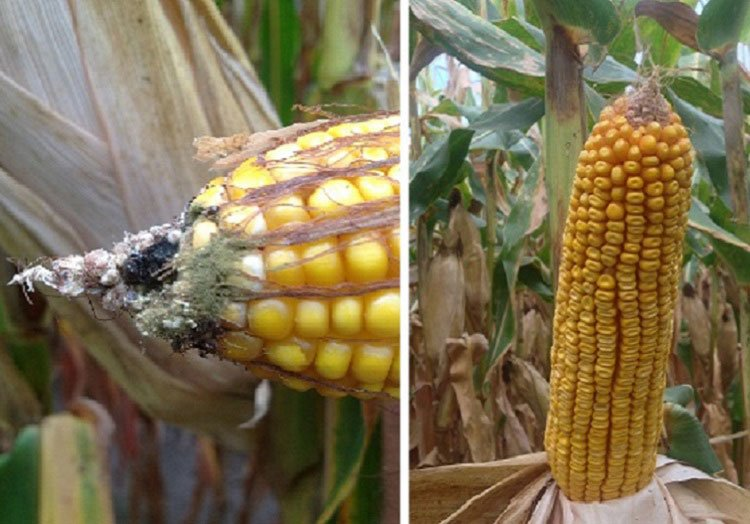 Hybrid without Agrisure Viptera, vs. Hybrid with Agrisure Viptera 3111 Trait Stack