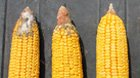 Competitor 1, Competitor 2 vs. Hybrid with Agrisure Viptera 3111 Trait Stack