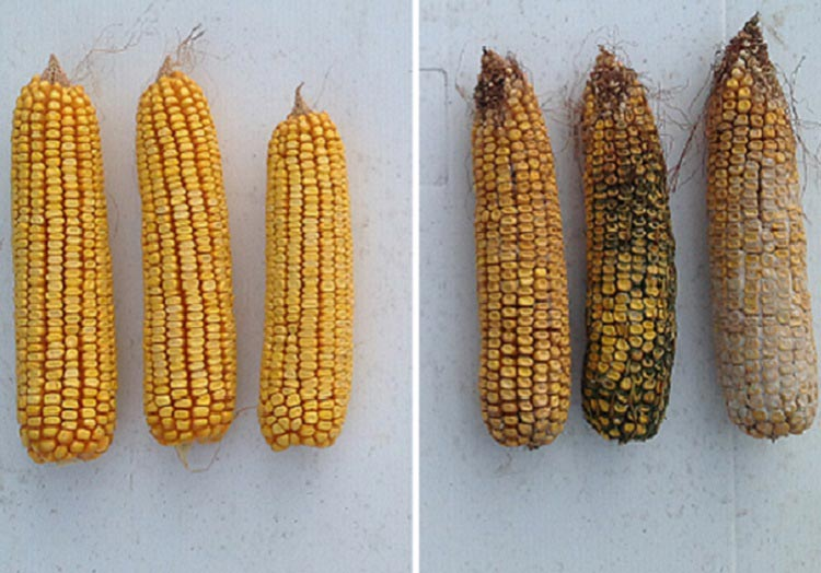 Hybrid with Agrisure Viptera (left) vs Competitive Hybrid (right)