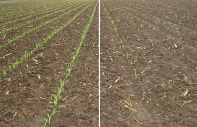 Competitive hybrid (left) vs. hybrid with Agrisure Viptera (right) Columbia, Missouri, 2017