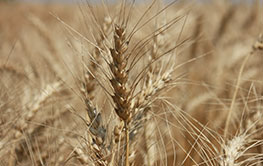 AgriPro® wheat brand