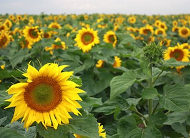Sunflower Seed | Syngenta US
