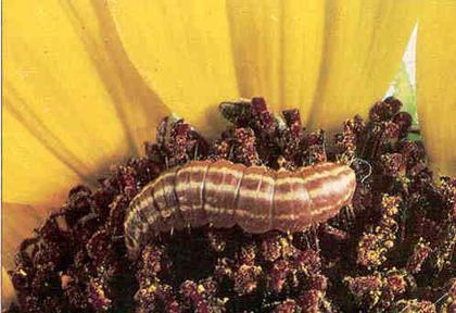 Sunflower Pest Solutions | Syngenta U S
