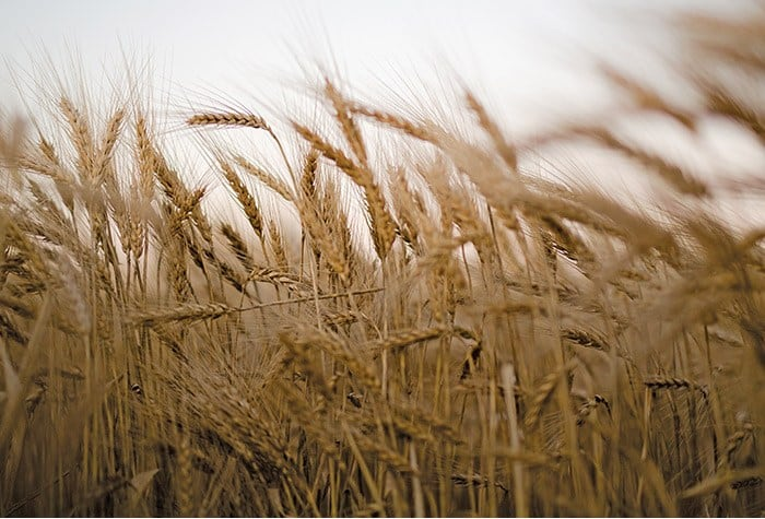 Syngenta Unveils New AgriPro Hard Red Winter Wheat Variety ...